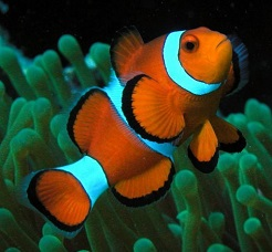 Анемонова риба (Amphiprion ocellaris)