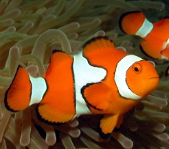 Клоун помаранчовий (Amphiprion percula)