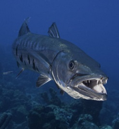Баракуда велика (Sphyraena barracuda)